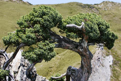 Gnarled cypress tree Stock Image