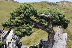 Gnarled cypress tree. In Taroko National Park, Taiwan stock image