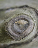 Gnarled Drzewnego bagażnika tło Makro- fotografia royalty free