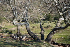 Gnarled drzewo Zdjęcia Royalty Free