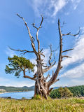 Gnarled evergreen tree at Washington Park, Anacortes, Washington Royalty Free Stock Images