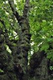 gnarled gammal tree Arkivbilder