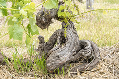 Gnarled Grapevine Royalty Free Stock Images