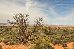 Gnarled Juniper Tree Stock Photo