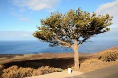 Gnarled Juniper Tree Shaped By The Wind. At El Sabinar, Island of El Hierro Stock Photos