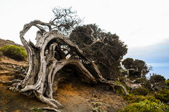 Gnarled Juniper Tree Shaped By The Wind Stock Photography