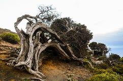 Gnarled Juniper Tree Shaped By The Wind. At El Sabinar, Island of El Hierro Stock Photography