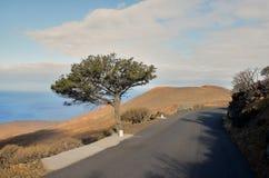 Gnarled Juniper Tree Shaped By The Wind. At El Sabinar, Island of El Hierro Royalty Free Stock Image