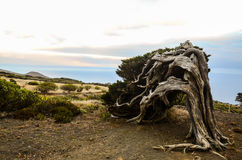 Gnarled Juniper Tree Shaped By The Wind. At El Sabinar, Island of El Hierro Royalty Free Stock Photos