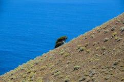 Gnarled Juniper Tree Shaped By The Wind. At El Sabinar, Island of El Hierro Stock Image
