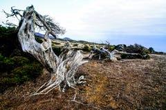 Gnarled Juniper Tree Shaped By The Wind. At El Sabinar, Island of El Hierro Royalty Free Stock Photography