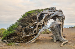 Gnarled Juniper Tree Shaped By The Wind Stock Images