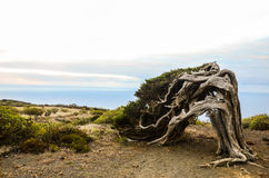 Gnarled Juniper Tree Shaped By The Wind stock photos