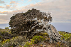 Gnarled Juniper Tree Shaped By The Wind Royalty Free Stock Photo