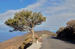 Gnarled Juniper Tree Shaped By The Wind. At El Sabinar, Island of El Hierro Stock Photo