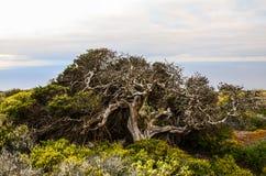 Gnarled Juniper Tree Shaped By The Wind. At El Sabinar, Island of El Hierro Royalty Free Stock Photo