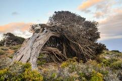 Gnarled Juniper Tree Shaped By The Wind. At El Sabinar, Island of El Hierro Stock Images