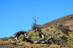 Gnarled Juniper Tree Shaped By The Wind. At El Sabinar, Island of El Hierro royalty free stock photo