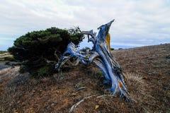 gnarled kalinka ukształtować drzewo wiatr Zdjęcie Royalty Free
