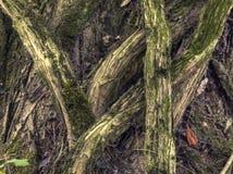gnarled korzenie obrazy stock