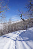 Gnarled Krumholz  aspens line a snowshoe trail Stock Photos