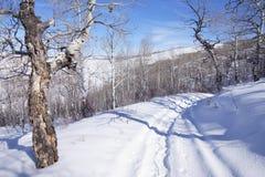 Gnarled Krumholz  aspens line a snowshoe trail. Gnarled Krumholz  aspens [ Populus tremula ] line a snowshoe trail near Cordillera,  Colorado Stock Photos