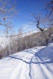 Gnarled Krumholz  aspens line a snowshoe trail. Gnarled Krumholz  aspens [ Populus tremula ] line a snowshoe trail near Cordillera,  Colorado Royalty Free Stock Image
