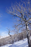 Gnarled Krumholz  aspens line a snowshoe trail Royalty Free Stock Photography