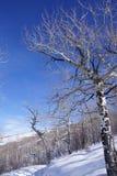 Gnarled Krumholz  aspens line a snowshoe trail. Gnarled Krumholz  aspens [ Populus tremula ] line a snowshoe trail near Cordillera,  Colorado Royalty Free Stock Photography