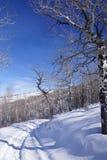 Gnarled Krumholz  aspens line a snowshoe trail Stock Photo