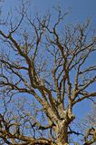 Gnarled limbs of an oak tree. Gnarling limbs of a huge oak tree in the spring as the budding of leaves is in the first stage Stock Photos