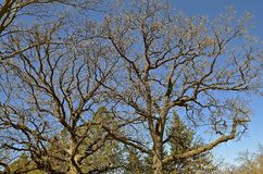 Gnarled limbs of an oak tree. Gnarling limbs of a huge oak tree in the spring as the budding of leaves is in the first stage Stock Images