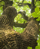 Gnarled Oak Stock Photos