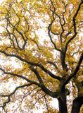 Gnarled Oak Royalty Free Stock Photos