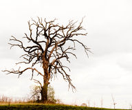 Gnarled Oak Tree Royalty Free Stock Photos