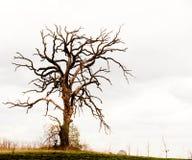 Gnarled Oak Tree Royalty Free Stock Photos