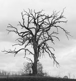 Gnarled Oak Tree II Royalty Free Stock Photography