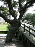 Gnarled oak tree by wooden bridge. Gnarled old oak beside the historic Currituck bridge, located in the City of Corolla in the Outer Banks of North Carolina Royalty Free Stock Photography