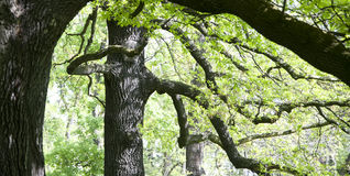 Gnarled oaks Royalty Free Stock Photography