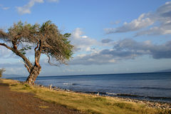 Gnarled Ocean Tree Stock Images