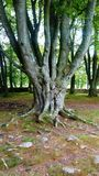 Gnarled old tree in ancient Scottish site Royalty Free Stock Photos
