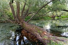 Gnarled Old Tree Growing Across Shallow River, Greece. A large old tree with gnarled and rough bark growing across a slow moving shallow river or stream, Greece stock image