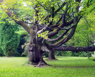 Gnarled old tree in park Stock Images