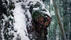 Gnarled Old Tree Trunk In Snowfall. Closeup of rugged old tree trunk in the woods with snow falling stock footage