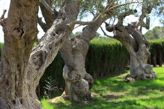 Gnarled old trees growing in a garden Royalty Free Stock Image
