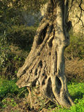 Gnarled olive tree trunk Stock Image