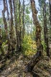 Gnarled osiki, Lassen park narodowy Obraz Stock
