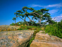 Gnarled Pine Royalty Free Stock Photo