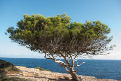 Gnarled pine in the evening sun in the Steilküste of Majorca. Gnarled pine in the evening sun in the Steilküste of Majorca Stock Photo