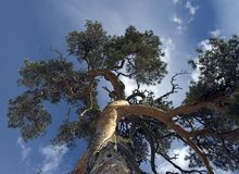 Gnarled pine tree. This is one of the most famous single pinetrees in Estonia - under nature protection Royalty Free Stock Photography